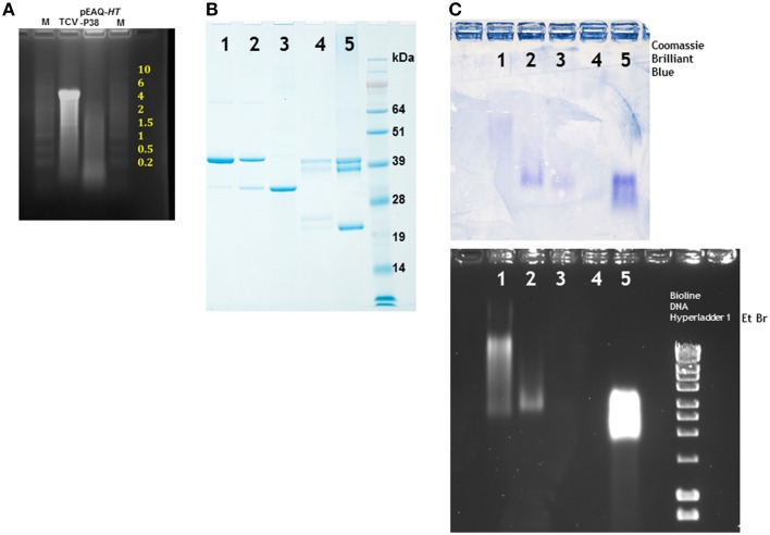 Denaturing electrophoresis of RNA extracted from particles and particle migration under non-denaturing conditions . (A) Denaturing agarose electrophoresis of nucleic acid extracted from TCV and particles formed by the infiltration of leaves with <t>pEAQ-</t> HT -P38. Yellow numbering denotes the size of the RNA (kb) ladder in lane M, catalog number 15623-200 (Invitrogen). (B) Migration of denatured viral proteins in 12% NuPAGE gel. (C) Separation of particles in a non-denaturing 1.2% agarose gel. Upper panel stained with Coomassie Brilliant Blue, the lower panel stained with ethidium bromide. 1, TCV; 2, pEAQ- HT -P38; 3, pEAQ- HT -P29; 4, CPMV eVLPs; 5, CPMV. Right lane lower panel, a commercially available <t>DNA</t> ladder (Bioline) confirming that the gel was stained with ethidium bromide.
