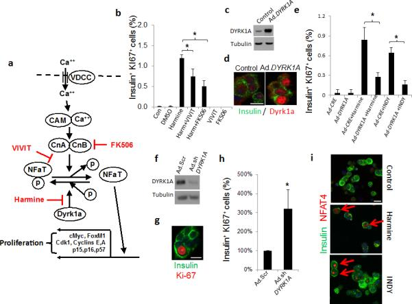 """Calcineurin-NFAT-Dyrk1a signaling is implicated in harmine-Induced beta cell proliferation ( a ) A model depicting the calcium (Ca ++ )−calmodulin (CAM)−calcineurin (CnA and CnB subunits)−NFAT−c-MYC pathway to beta cell proliferation. The sites of action of harmine, <t>VIVIT</t> and <t>FK506</t> are shown in red. ( b ) Beta cell proliferation in dispersed human islets in response to harmine, in the presence and absence of VIVIT or FK506 ( n = four human preparations). ( c ) Adenoviral Dyrk1a overexpression in human islets, visualized by immunoblot. Representative of experiments from three islet preparations. ( d ) Ad. DYRK1A overexpression and immunolabeling for DYRK1A in human beta cells. Representative of experiments from three human islet preparations. ( e ) Effects of Ad. DYRK1A overexpression on harmine- and INDY-induced human beta cell proliferation. A minimum of 1000 beta cells was counted from four donors for each bar. ( f ) Effects of Ad.sh DYRK1A transduction in human islets. Representative of four human islet preparations. """"Ad.Scr"""" indicates an adenovirus expressing scrambled shRNA. ( g ) An example of Ki67 immunolabeling in human beta cells transduced with Ad.sh DYRK1A . ( h ) Quantification of Ki67 in human beta cells transduced with Ad.sh DYRK1A . A minimum of 1000 beta cells was counted from five donors for each bar. ( i ) Effects of harmine (10 μM) or INDY (15 μM) treatment on NFAT4 translocation to the nucleus of human beta cells. Examples are shown in red arrows. Translocation of other NFATs is shown in Supplementary Figure 7 . In all relevant panels, the scale bar indicates 10 μm, error bars indicate s.e.m., and * indicates P"""