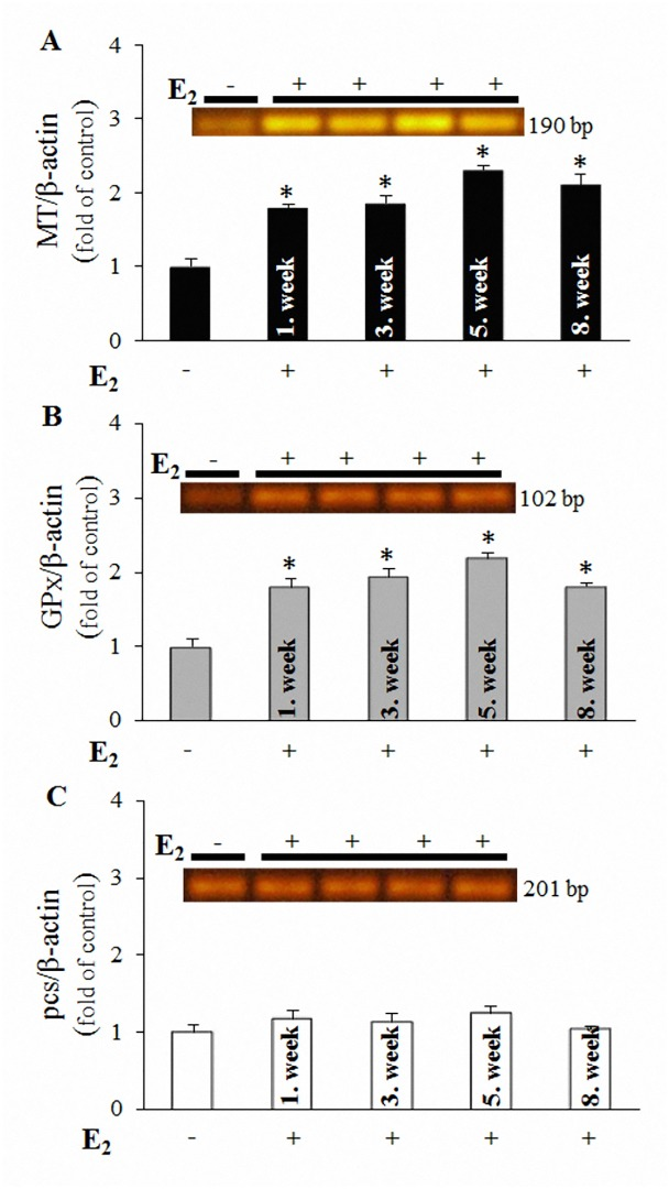 Influence of E 2 exposure (100 μg/kg) on the expression of mRNA encoding selected antioxidant molecules. ( A ) MT , ( B ) GPx and ( C ) pcs genes in E . fetida , collected in the 1 st ; 3 rd ; 5 th and 8 th weeks of the experiment. For evaluation, the corresponding molecular-weight bands of amplicons coinciding with the values shown in Table 1 were obtained using RT-PCR. The fluorescence intensities of the bands, obtained using ethidium bromide staining, were transformed into numerical forms, and expression was normalized to β-actin expression from the same cDNA template. The values are presented as the means of three independent replicates ( n = 3). The vertical bars indicate standard error. The asterisks indicate significant differences ( p