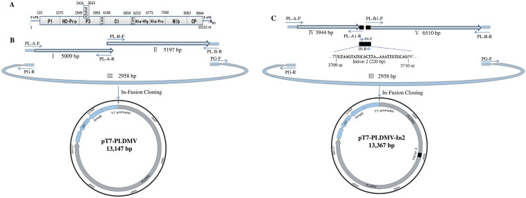 Strategy for constructing intron-less and intron-containing infectious full-length cDNA clone of PLDMV-DF using In-Fusion cloning. ( A ) Schematic representation of the genomic structure of PLDMV; ( B ) Two genomic fragments overlapping the complete genome (fragments I and II) and fragment III of pGEM-T vector containing a T7 promoter were fused to generate the pT7-PLDMV vector by In-Fusion cloning. Arrows indicated the primers used in construction of pT7-PLDMV ( Table 1 ); ( C ) Two genomic fragments overlapping the complete genome (fragments IV and V), the intron 2 (220 bp) of the NiR gene from Phaseolus vulgaris and fragment III of the pGEM-T vector containing a T7 promoter were fused to generate the PLDMV-DF-In2 vector by In-Fusion cloning. Arrows indicated the primers used in construction of PLDMV-DF-In2 ( Table 1 ).