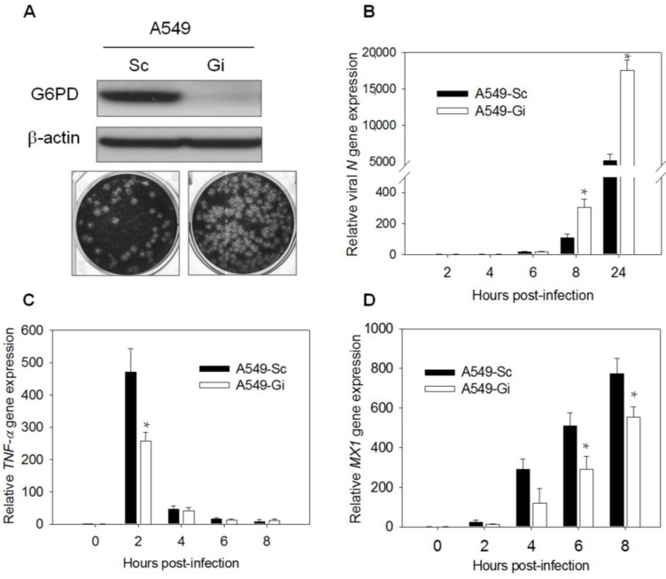 Expressions of antiviral gene MX1 and TNF- α decrease upon HCoV 229E infection in A549-Gi cells. ( A ) A549-Sc and -Gi cells were harvested for determination of G6PD expression by western blotting. β-Actin was used as internal control. A549-Sc and -Gi cells were infected with HCoV-229E (0.1 MOI) for 24 h then viral particle was harvested and production was determined using plaque assay; ( B ) A549-Sc and -Gi cells were infected with HCoV-229E (0.1 MOI) for indicated time points. Viral N gene expression was determined by quantitative-PCR. Data were normalized to the value of infected A549-Sc cells at 2 h p.i.; ( C ) RNA was harvested from HCoV-229E-infected cells at indicated time p.i.. TNF- α gene expression was determined by quantitative-PCR. Data were normalized to the value of uninfected A549-Sc cells; ( D ) RNA was harvested from HCoV 229E-infected cells at indicated time points p.i.. MX1 gene expression was determined by quantitative-PCR. Data were normalized to the value of uninfected A549-Sc cells. Values represent average ± SD of three experiments. * p