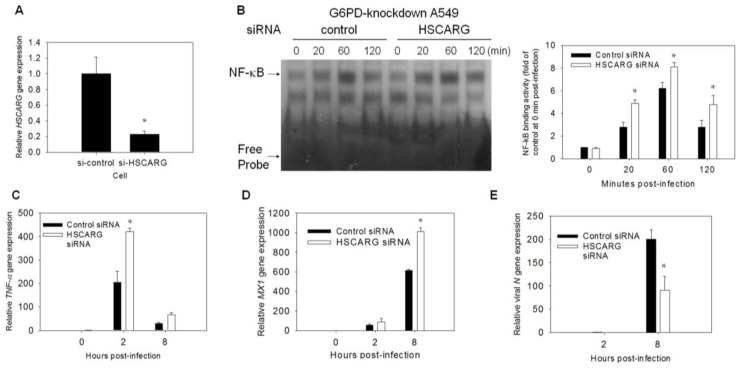 HSCARG -knockdown increases antiviral response and decreases viral replication. ( A , B ) A549-Gi cells were transfected with HSCARG siRNA. Total RNA was collected at 48 h after transfection, and HSCARG gene expression was determined by quantitative-PCR. Level of HSCARG was expressed relative to that of A549-Gi cells transfected with control-siRNA. For assay of NF-êB binding activity, A549-Gi cells were transfected with control or HSCARG siRNA for 48 h, and subsequently infected with HCoV 229E at MOI of 0.1. At indicated time points p.i., NF-êB binding activity was analyzed by EMSA. The temporal change in NF-êB binding activity is shown and quantified by densitometric scanning. The values represent average ± SD of five independent experiments; ( C – E ) A549-Gi cells were transfected with control or HSCARG siRNA for 48 h, and subsequently infected with HCoV 229E at an MOI of 0.1. Total RNA was harvested at indicated time points p.i., and analyzed for expression level of TNF- α ( C ), MX1 ( D ), and viral N genes ( E ) by quantitative-PCR. Values represent average ± SD of three experiments. * p