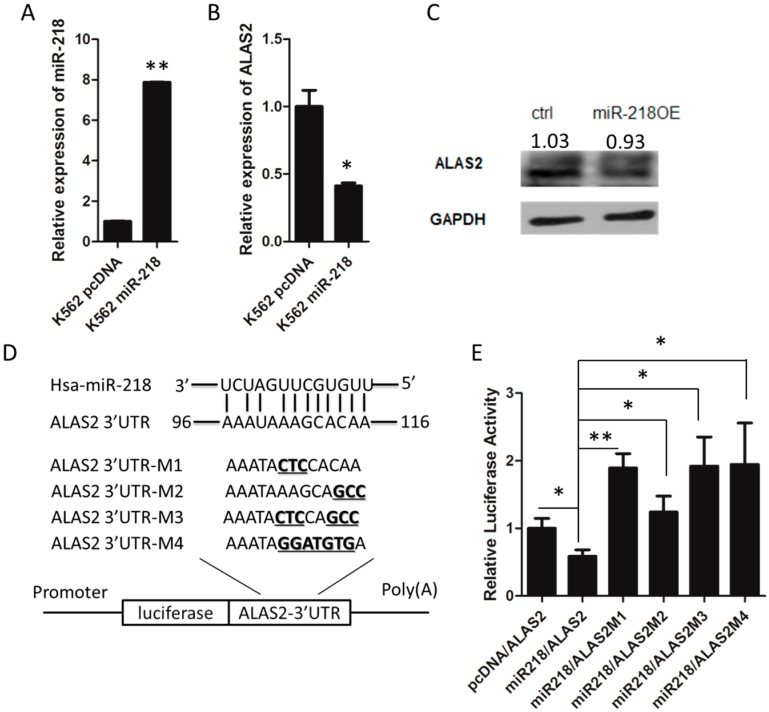( A ) The overexpression of miR-218 in K562 cells was confirmed using mature miRNA quantitative real-time PCR normalized to U6 . The expression of ALAS2 at the mRNA level ( B ) and at the protein level ( C ) in K562 control and K562 miR-218 cells was measured by quantitative real-time PCR and western blot, respectively. Western blot quantification normalized to GAPDH by densitometry using ImageJ was provided; ( D ) Predicted binding site for the seed sequence of miR-218 in the 3′UTR of ALAS2 mRNA. Four mutated forms of the 3′UTR were used to generate luciferase reporter constructs as shown. The mutated nucleic acid was shown in bold and underlines; ( E ) miR-218 inhibits wild-type, but not the mutated ALAS2 3′UTR. Asterisks indicate that differences between samples were statistically significant according to an independent-sample t -test, * p