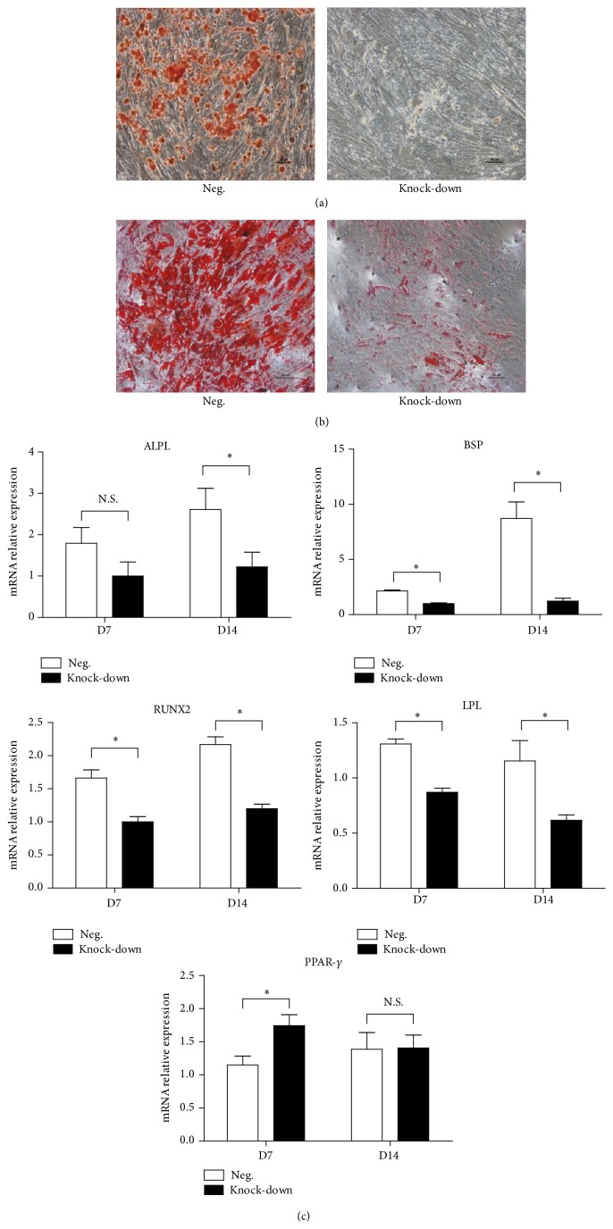 Osteogenic and adipogenic differentiation of transfected BM-MSCs. (a) Osteogenic differentiation of transfected BM-MSCs was detected by Alizarin Red staining. Scale bar = 100 μ m. (b) Adipogenic differentiation of transfected BM-MSCs was demonstrated via Oil red O staining. Scale bar = 100 μ m. (c) Mean relative values (±SD) of ALPL , BSP , RUNX2 , LPL , and PPAR-γ mRNA expression in Day 7 and Day 14 of induction culture processes.