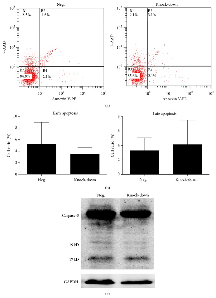 Apoptosis analysis of transfected BM-MSCs. (a) Representative flow cytometric results of apoptosis analysis in different groups. (b) Percentage of early and late apoptosis cells in different groups. Data was presented as mean ± SD. (c) Western blot analysis of Caspase-3 in different groups. The 17 kD and 19 kD bands represented cleaved Caspase-3.
