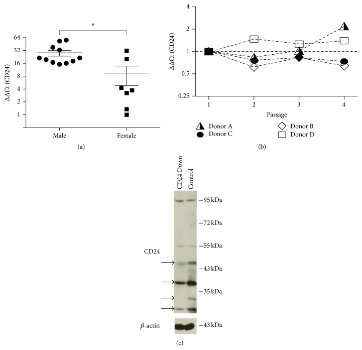 Analysis of CD24 expression in hBMSCs. (a) hBMSC mRNA from 18 different donors in passage 2 of in vitro culture were analyzed for the expression of CD24 mRNA by qRT-PCR and analyzed for gender-dependent differences in mRNA expression levels. The relative expression values are plotted as fold change in mRNA expression (ΔΔCt) relative to the sample with the lowest relative CD24 mRNA expression. (b) The mRNA expression of CD24 was analyzed from passage 1 to passage 4 of in vitro culture in 4 individual donors. The expression values are normalized to the expression levels of the respective donor in passage 1 (ΔΔCt). (c) The expression of CD24 protein was evaluated by western blot with a polyclonal rabbit anti-CD24 antibody. In order to determine which bands were specific for CD24 hBMSCs were transduced with either a shRNA directed against CD24 mRNA (CD24 Down) or a scrambled shRNA (Control). Cell extracts from these two groups were then compared for CD24 reactive bands: the western blot bands with reduced intensity in the CD24 Down Group are marked with black arrows and represent bands specific for CD24. β -actin was used as loading control.