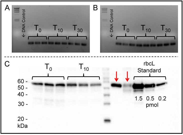 Assessment of protein and m RNA integrity for seawater field samples preserved with BioDry. Gene expression for rbcL was assayed using clade-specific primers for diatoms (A) and haptophytes (B). Protein was assayed by western blot using an RbcL antibody (C). Red arrows represent assay positives for Emiliania huxleyi CCMP Glycine max (soy) leaf extract respectively. Frozen controls (T 0 ), preserved samples (T 10 T 30 days), as well as the representative DNA/contamination controls are indicated.