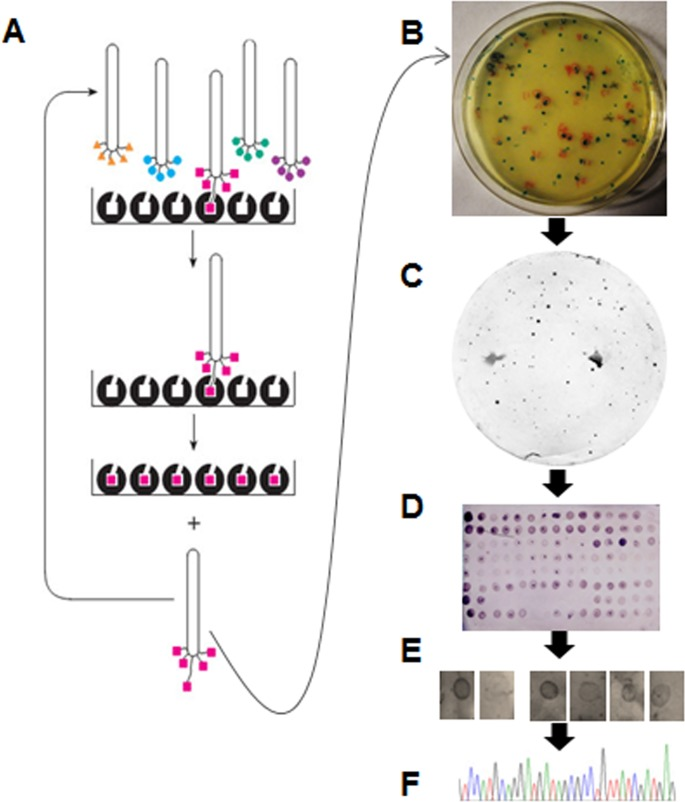 Diagrammatic representation of the workflow applied in affinity purification of M13 phage clones that displayed FvTox1-interacting synthetic peptides. (A), Bio-panning of the phage display libraries on plastic surface of a microtiter plates coated with 1.5 ml FvTox1 (30 ng/μl). Unbound phage particles were washed off; and M13 phage particles bound to FvTox1 were used to infect E . coli for starting a second round of panning. The process was repeated once more. (B), Plating of candidate M13 phage clones displaying FvTox1-interacting peptides. An eluate from the last panning in A was plated on X-gal/IPTG agar plates. (C), Identification of candidate M13 phage clones displaying FvTox1-interacting peptides. Phage clones were adsorbed onto nitrocellulose paper and hybridized to the His-tagged purified FvTox1 proteins. FvTox1-interacting clones were identified by detecting FvTox1 with the anti-His antibody. (D), Western blot analysis of the selected phage clones for interaction with FvTox1. Selected M13 phage particles from plates in C were transferred to nitrocellulose filters and hybridized to FvTox1, which was detected with an anti-His antibody. (E), Western blot analysis of the selected clones for interaction with FvTox1. Selected clones in D were reinvestigated for interaction with FvTox1, adsorbed onto a nitrocellulose membranes and detecting the interaction of individual clones to FvTox1 with an anti-M13 antibody (Details are presented in S2 Fig ). (F), Electropherogram of a nucleotide molecule encoding an FvTox1-intearcting peptide is presented.