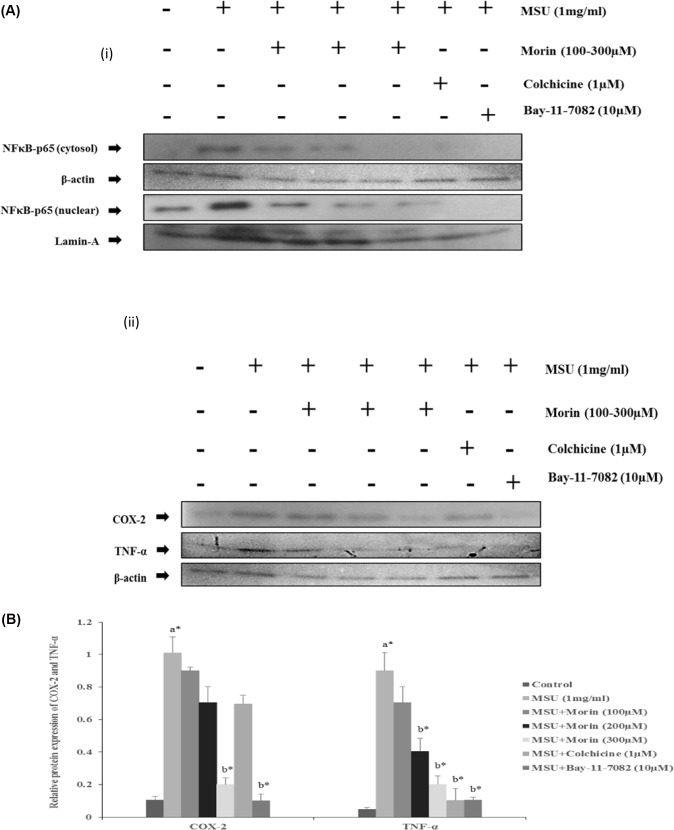 Effect of morin on MSU crystal induced activation of NF-κBp65, COX-2 and TNF-α in RAW 264.7 macrophage cells. RAW 264.7 macrophage cells were treated with varying concentrations of morin (100–300 μM/ml) for 24 h and BAY 11–7028 (10 μM) for 1 h prior to the stimulation of MSU (1 mg/ml) for 24 h. Western blotting analysis was performed as described in materials and methods (i) The expression and translocation of NF-κBp65 protein were evaluated by measuring protein levels in the cytosolic and nuclear cell fractions (ii) COX-2 and TNF-α protein expression were evaluated in the whole cell lysates. β-actin and Lamin A were used as an internal loading control. The values are expressed as mean ± SEM of three independent experiments. Comparisons were made as follows: a—Control versus MSU (1mg/ml) stimulated, MSU+ morin treated groups (100–300 μM), MSU + Colchicine (1 μM); b—MSU stimulated versus MSU + morin (100–300 μM), MSU + Colchicine (1μM). * P
