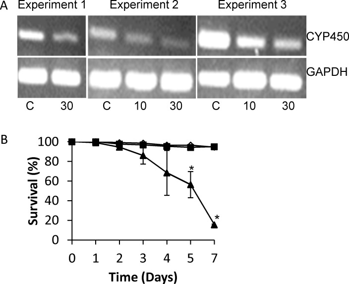 Effect of silencing Schistosoma mansoni CYP450 in cultured larval worms. Freshly prepared schistosomula (300–400) were placed in each well containing 1 ml Basch's Media in a 24-well plate and overnight in a 37°C with 5% CO2. The following day schistosomula were treated with 10 or 30 μg/ml S . mansoni CYP450 dsRNA or 30 μg/ml negative control dsRNA. Over several days worms were observed for dead (dark, granular appearance) or alive (translucent). (A) mRNA expression patterns in schistosomula treated with S . mansoni CYP450 specific dsRNA or negative control dsRNA control after 3 days of treatment (Experiments 1 and 2) or 2 days treatment (Experiment 3). The control gene for cDNA input is S . mansoni glyceraldehyde 3-phosphate dehydrogenase (GAPDH). C, schistosomula treated with 30 μg/mL irrelevant dsRNA; 10, schistosomula treated with 10 μg/mL Sm CYP450 dsRNA; 30, schistosomula treated with 30 μg/mL Sm CYP450 dsRNA. (B) Effect of S . mansoni CYP450 dsRNA on schistosomula survival in cultures with 30 μg/mL negative control dsRNA (black square), 10 μg/mL S . mansoni CYP450-specific ds RNA (open triangle), and 30 μg/mL S . mansoni CYP450-specific ds RNA (black triangle). Treatments were done in triplicate and repeated 3 times. Error bars indicate standard error of the mean; *, p