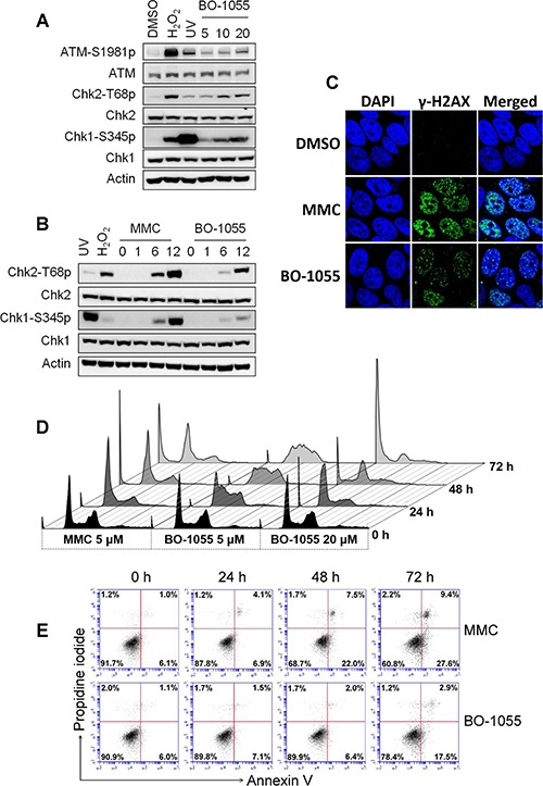 BO-1055 induces DDR and cell death A. Immunoblots showing DDR through the detection of the phosphorylation of ATM Ser1981(ATM-S1981p), Chk1 Ser 345 (Chk1-S345p), or Chk2 Thr 68 (Chk2-T68p), following the exposure of MCF-7 cells to 5, 10, or 20 μM of BO-1055 for 6-h. Cells treated with 0.1 mM of H 2 O 2 and 10 J/m 2 of UV for 30 min served as positive controls. B. The same experiment described in (A), cells were exposed to 5 μM of MMC or of BO-1055 for 0, 1, 6, or 12 hours. C. Immunohistochemical staining for the DNA damage marker γ-H2AX (green) and nucleus DAPI (blue) of cultured MCF-7 cells was conducted following incubation with 5 μM of MMC or BO-1055 for 24-h. D. FACS histogram analysis of DNA content. PI staining in fixed cells was performed following the exposure of cultured MCF-7 cells to the indicated doses of MMC or BO-1055 for the indicated times. E. FACS dot-blot analysis for cell death. AnnexinV/PI double staining in living cells was conducted following the exposure of cultured MCF-7 cells to 5 μM of MMC or of BO-1055 for the indicated times. The experiment of (D) and (E) were performed three times, and the quantitative results expressed as the mean ± SEM are respectively presented in Supplementary Figure S2A and S2B . The cell death, assessed in cells treated with 20 μM of MMC or of BO-1055, is presented in Supplementary Figure S2C .
