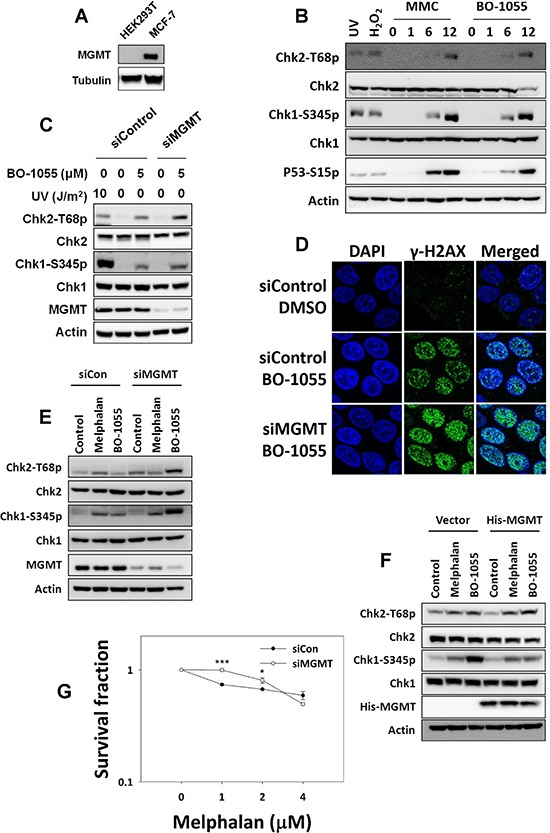 MGMT-mediated repair is required to repair BO-1055-induced, but not melphalan-induced, lesions A. Immunoblot analysis showing endogenous MGMT expression in cells. B. DDR assessed by detecting the phosphorylation of Chk1 Ser 345 (Chk1-S345p), Chk2 Thr 68 (Chk2-T68p), or P53 Ser 15 (P53-S15p), following the exposure of HEK293T cells to 5 μM of MMC or of BO-1055 for 0, 1, 6, or 12 hours. C. DDR induced by BO-1055 in MGMT knockdown MCF-7 cells. D. Immunohistochemical staining of the DNA damage marker γ-H2AX (green) and the nucleus DAPI (blue) in MCF-7 cells cultured with siRNA knockdown of MGMT, followed treatment with or without 5 μM of BO-1055 for 24-h. E. Detection of DDR in MCF-7 cells transfected with control siRNA or siRNA knockdown of MGMT, following treatment with or without 5 μM of melphalan or 5 μM of BO-1055 for 6-h. F. Detection of DDR in HEK293T cells transfected with a control vector or an MGMT expression vector, following treatment with or without 5 μM of melphalan or 5 μM of BO-1055 for 6-h. G. In vitro clonogenic survival of MCF-7 cells with knockdown of MGMT by siRNA, in MCF-7 cells exposed to the indicated doses of melphalan for 6-h.