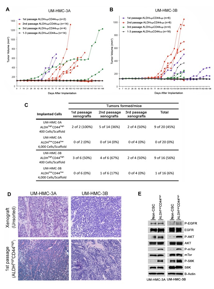 Tumorigenic potential of low passage mucoepidermoid carcinoma cells sorted for ALDH/CD44 A., B. Graphs depicting tumor volume of A. UM-HMC-3A or B. UM-HMC-3B xenograft cells FACS-sorted for ALDH/CD44. Scaffolds were seeded with either 400 ALDH high CD44 high or 4,000 ALDH low CD44 low cells and transplanted into the subcutaneous space of SCID mice. Existing tumors were retrieved, re-sorted and 400 ALDH high CD44 high or 4,000 ALDH low CD44 low cells seeded into new scaffolds, and serially passaged in vivo . C. Table depicting the number of tumors grown in the ALDH high CD44 high versus ALDH low CD44 low populations for each passage performed. D. H E staining of tumors generated with FACS-sorted ALDH high CD44 high and ALDH low CD44 low cells. Images were taken at 100X. E. UM-HMC-3A and UM-HMC-3B cells were sorted for ALDH high CD44 high or combined ALDH high CD44 low , ALDH low CD44 high , and ALDH low CD44 low (non-CSC population). NP-40 lysis buffer was used to prepare whole cell lysates that were resolved using PAGE. Membranes were probed using antibodies a 1:1000 dilution against human mTor, p-mTor, Akt, p-Akt, S6K, p-S6K, p-EGFR; 1:2000 dilution of EGFR, and beta-actin.