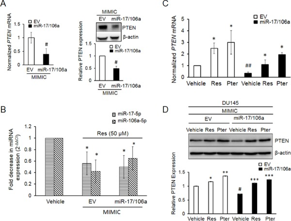 Establishment and characterization of DU145 cells stably overexpressing miR-17/106a A. PTEN mRNA (left) and protein (right) were significantly decreased in miR-17/106a MIMIC compared to EV MIMIC cells. PTEN mRNA expression was detected by real time PCR and protein was detected by western blot. B. Resveratrol inhibits relative abundance of miRs-17 and -106a in EV and miR-17/106a MIMIC cells as detected by real time PCR. C, D. Resveratrol and pterostilbene enhanced expression of PTEN mRNA (C) and protein (D) in EV MIMIC and miR-17/106a MIMIC cells. Fold change in expression of miRNAs and mRNA was calculated by the 2 −ΔΔCt method. Data represent the mean ± SEM from at least three independent experiments. Quantitation of blots was performed using Image J software. Comparisons between non-transfected and miR transfected samples (#) and vehicle and compound-treated samples (*) are shown. # p