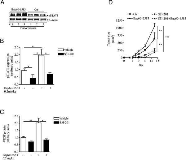 STAT3 activation is enhanced in melanoma tissues of mice treated with Bay60-6583 A and B. phospho-STAT3 (pSTAT3) protein expression analysis in melanoma tissues of mice treated with Bay60-6583 or vehicle (ctr), receiving the STAT3 inhibitor S3I-201 5mg/kg i.p. or vehicle. C. VEGF protein expression analysis in melanoma tissues of mice treated with Bay60-6583 or vehicle and receiving the STAT3 inhibitor S3I-201. D. Melanoma volume was monitored during the treatment with S3I-201 in mice receiving Bay60-6583 or vehicle. Data are from three independent experiments and represent mean ± SEM ( n = 6–12) * p