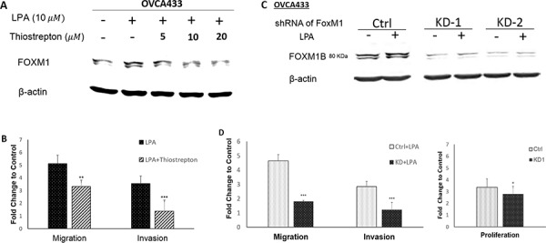 FOXM1 was functionally involved in cell proliferation, migration, and invasion in EOC cells OVCA433 cells were starved and pretreated with different doses of thiostrepton (a selective inhibitor of FOXM1) for 1 hr prior to LPA treatment (10 μM, 6 hr). Thiostrepton dose-dependently reduced LPA-induced FOXM1 expression A. and inhibited LPA-induced cell migration and invasion in OVCA433 cells B. FOXM1 down-regulation by shRNA C. reduced cell migration and invasion induced by LPA and cell proliferation induced by 2% FBS D. The results are from three independent experiments. FOXM1 was detected using the Sigma antibody (Cat. Log# AV39518). * P