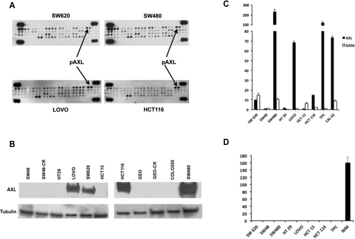 Expression and activation of AXL in human CRC cell lines A. 300 μg of protein lysates were obtained from human CRC cell lines SW620, SW480, LOVO, HCT116 and were analysed by human phospho-kinase array evaluating the following receptors: AXL, EphA1, EphA2, EphA3, EphA6, EphA4, EphA7, EphB1 EphB2, EphB4, EphB6, ErbB2, ErbB3, ErbB4, EGFR, FGF R1, FGFR2a, FGF R3, FGFR4, Flt 3, HGF R, insulinR, IGF-I R, Mer, MSPR, MCSFR, MuSK, PDGFrα, PDGrβ, SCFR, cRET, ROR1, ROR2, Tie2, TrkA, TrkB, TrkC, VEGFR1, VEGFR2, VEGFR3, Tie1. B. Western blot analysis of AXL receptor in SW48, SW48-CR, HT29, LOVO, SW620, HCT15, HCT116, GEO, GEO-CR, COLO205, SW480. Thirty micrograms of cell protein extracts were fractionated through 4% to 20% SDS-PAGE, transferred to nitrocellulose filters, and incubated with the indicated antibodies as described in Materials and Methods. Immunoreactive proteins were visualized by enhanced chemiluminescence. C. specific mRNA expression by quantitative real time-PCR: total RNA was extracted from colorectal (SW620, SW48, SW480, HT29, LOVO, HCT15, HCT116) and thyroid cancer cell lines (TPC, CAL 62) quantitative real time-PCR was done to assess the expression of AXL and GAS6 mRNA. D. GAS6 protein levels were measured in cell culture media of CRC cancer (SW620, SW48, SW480, HT29, LOVO, HCT15, HCT116) and thyroid (TPC, NIM) cancer cell lines by using specific ELISA as described in Materials and Methods.