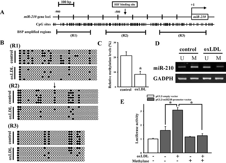 oxLDL effects on DNA demethylation in the miR-210 gene promoter of HASMCs A. CpG sites and the HIF-1α-binding site predictions in the miR-210 gene promoter. R1 to R3 means the regions used to detect methylation status by the BSP assay. B. DNA methylation changes in the miR-210 gene promoter according to the BSP assay. The HIF-1α-binding site is indicated by an arrow. Each row and circle respectively means one single sequencing reaction and one CpG site. The empty and solid circles respectively mean the un-methyl and methyl CpG site. C. Quantitative results for figure (B). D. DNA methylation changes in the miR-210 gene promoter by the MSP assay. After HASMCs were treated with 40 μg/ml oxLDL for 48 h, genomic DNA was extracted. The methylation status was determined by both the BSP and MSP assays. E. DNA methylation effects on oxLDL-mediated miR-210 gene promoter activity. The vector containing the miR-210 promoter was methylated by methylase in vitro and transfected into cells. After treatment with 40 μg/ml oxLDL for 48 h, luciferase activity was measured in triplicate experiments. Data are means ± SD of three experiments. * P