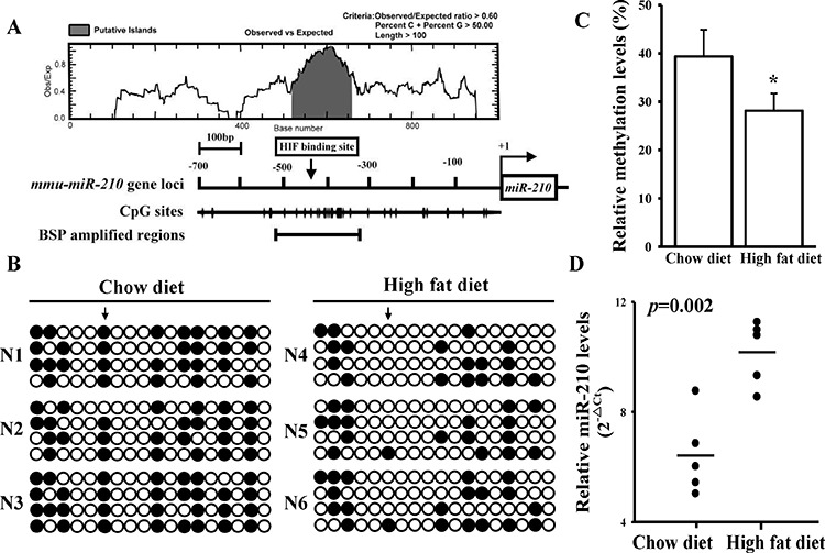 A high-fat diet reduces DNA methylation levels in the miR-210 promoter in vivo A. CpG island (gray color) and HIF-1α-binding site predictions in the mouse miR-210 gene promoter. Suitable primers were designed to amplify the CpG region containing the HIF-1α-binding site. B. The high-fat diet effects on DNA methylation in the mouse miR-210 gene promoter. The arrow indicates the HIF-1α-binding site. The N1 ∼ 3 and N4 ∼ 6 respectively means the serial number of control and high-fat diet-fed mouse. Each row and circle respectively means one single sequencing reaction and one CpG site. The empty and solid circles respectively mean the un-methyl and methyl CpG site. C. Quantitative results for. After being fed a high-fat diet, genomic DNA was extracted from the aorta of an APOE−/− mouse. The methylation status was measured by the BSP assay. D. The high-fat diet effects on miR-210 levels. Total RNA was extracted from aortas of mice fed a chow or high-fat diet, and miR-210 levels were measured by a qPCR. Data are means ± SD of three experiments. * P