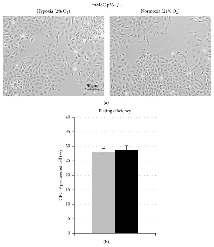 Impact of p53 status on oxygen effect of long-term in vitro culturing and colony formation capacity of mMSCs. (a) Morphology of mMSCs p53−/− cultured in hypoxic conditions (left image) and in normoxic conditions (right image). Representative images show mMSCs p53−/− cultured for 20 days. (b) Colony forming ability of mMSCs p53−/− after 14 days in hypoxic (grey bar) and normoxic (black bar) cultures calculated as mean values of fibroblast colony-forming units (CFU-F) per plated cell (3 biological replicates).