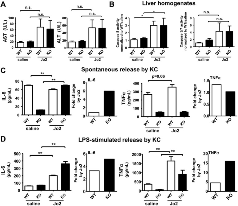 Sublethal dose Jo2 treatment caused a very mild effect on liver injury and apoptosis but primes KC from mutant mice for a marked increase of IL-6 release either spontaneously or during LPS stimulation. Three-month old mice were treated with saline or 0.125 µg/g body weight Jo2 antibody for 6 h. KC were treated with saline or 1 µg/mL LPS for 7 h. ( A ) Activity of serum transaminases (AST and ALT) in U/L were determined in WT and KO mice ( N = 3–7 per group); ( B ) Caspase 8 and caspase 3/7 activities measured by luminescence were determined in liver homogenates of WT and KO ( N = 3–7 per group); Spontaneous ( C ) and LPS-stimulated ( D ) release of IL-6 and TNFα measured by ELISA was determined in KC isolated from WT and KO ( N = 6 per group), and the fold increase by Jo2 was calculated (right-hand panel). * p