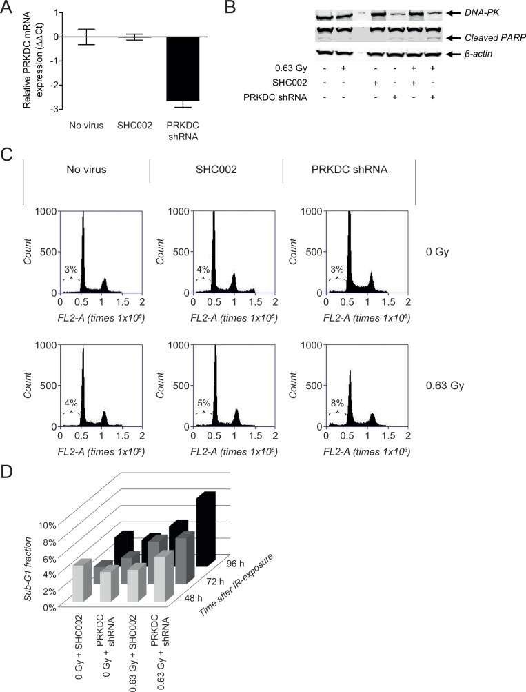 PRKDC knockdown in NGP cells confirms DNA-PKcs-dependent radiosensitizing activity of NU7026. (A) PRKDC mRNA expression in NGP cells at 144 h after transduction with nonspecific control shRNA (SHC002) or PRKDC shRNA. PRKDC mRNA levels were determined by qPCR and ΔCt values were normalized to the household gene <t>β-actin.</t> Normalized ΔCt values of untreated non-transduced NGP cells (no virus) were set at zero, giving ΔΔCt. Data represent the mean (n = 4) +/- SD. (B) FACS analysis of the effects of treatment with 0.63 Gy IR on the sub-G1 fraction of normal NGP cells and NGP cells transduced with SHC002 or PRKDC shRNA. Results are obtained at 96 h after IR-exposure of the cells. (C) Sub-G1 fraction of NGP cells transduced with SHC002 or PRKDC shRNA after non-treatment and after treatment with 0.63 Gy IR, at 48, 72 and 96 h after irradiation. (D) Western Blot analysis of protein levels of DNA-PKcs and cleaved PARP in non-irradiated and irradiated normal NGP cells and NGP cells transduced with SHC002 or PRKDC shRNA. Results were obtained at 120 h after irradiation, which was equal to 168 h after transduction. β-actin protein levels were used as loading control.