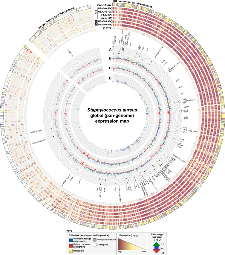 Global (pan-genome) expression map of in vitro and in vivo derived S . aureus transcriptomes. Circular ideogram depicting variations in gene expression between S . aureus strains, in vitro growth media and in vivo conditions as mapped according to the 3466 core/variable OGs and 732 unique (strain-specific) proteins defined for the S . aureus pan-genome. RNAseq generated reads (plotted as log 10 expression values) were assigned to their respective OGs/proteins by rpstblastn (ordered from core–variable–unique) with each OG defined according to its major Clusters of Orthologous Groups (COG) class (outer circle). Expression values from a total of 7 conditions were mapped and represent (from outer to the inner): S . aureus <t>USA300</t> in vitro exponential (EX) and stationary (ST) phase growth in Brain Heart Infusion <t>(BHI)</t> media; S . aureus IPL32 in vitro EX and ST phase growth in BHI; S . aureus USA300 and IPL32 in vitro EX phase growth in Synthetic Nasal Medium (SNM); and transcripts taken from an in vivo (metatranscriptomic) sample generated from the human anterior nares of an S . aureus carrier. Inner circles represent: (A) the top 25-ranked most highly expressed genes in each of the 7 conditions (based on abundance of transcripts) and plotted as a tile graph where black lines (or tiles) correspond to a highly expressed gene under a given condition (ordered according to the outer circles), with those specific to in vivo conditions marked in bold; (B) fold-change (log 10 ) of in vitro EX growth of USA300 in SNM versus BHI media; (C) fold-change (log 10 ) of in vitro EX growth of IPL32 in SNM versus BHI media; and (D) total S . aureus- specific read counts (log 10 ) from the in vivo human anterior nares condition. Keys denote the color scheme used to distinguish COG classes and expression and fold-change/read count values.