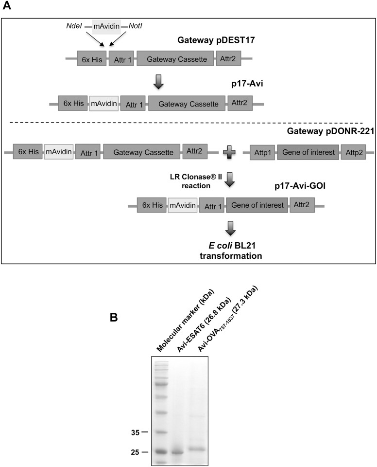 Construction of a recombination cloning plasmid for the production of avidin fusion proteins. (A) Gene for mAvidin was synthesized with restriction sites NdeI and NotI and subcloned into pDEST17 between the 6x histidine and the gateway cassette to generate p17-Avi plasmid. OVA peptide 323-339 and ESAT6 DNA sequences terminated with att B sites were cloned into pDONR221 via BP Clonase reaction. Thereafter, genes of interest were subcloned into p17-Avi by mean of one step LR Clonase reaction. (B) E . coli BL21 was transformed with p17-Avi encoding ESAT6 and OVA peptide 323-339 . Recombinant Avi-proteins were purified from inclusion bodies and subjected to 12% SDS-PAGE gel and EZ blue staining to analyze the quality of fusion protein preparations. Expected sizes for Avi-ESAT6 and Avi-OVA 757-1037 are 26.8 and 27.3 kDa respectively.