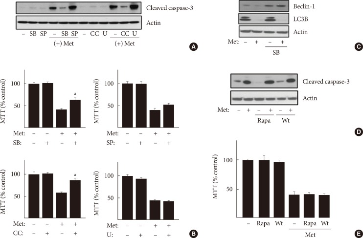 Inhibition of p38 mitogen-activated protein kinase (p38MAPK) as well as AMP-activated protein kinase protected cells from apoptosis induced by metformin (Met). H4IIE cells were pre-incubated in serum-free Dulbecco's minimal essential medium (DMEM, 1 g/L glucose) for 24 hours and then pretreated with various inhibitors against signaling proteins (20 µM compound C [CC], 50 µM SB202190, 50 µM SP600125, 10 µM U0126, 100 nM rapamycin, and 100 nM wortmannin) for 30 minutes. Cells were further treated 1 mM Met for 24 hours. After the treatments, the protein levels of cleaved caspase-3, beclin-1, light chain 3B (LC3B), and actin were detected using Western blotting analyses (A, C, D), and cell viability was analyzed using the 3-(4,5-dimethylthiazol-2-Yl)-2,5-diphenyltetrazolium bromide (MTT) assay (B, E). Each bar represents the mean±standard error ( n =3) (B, E). Rapa, rapamycin; SB, SB202190; SP, SP600125; U, U0126; Wt, wortmannin. a P