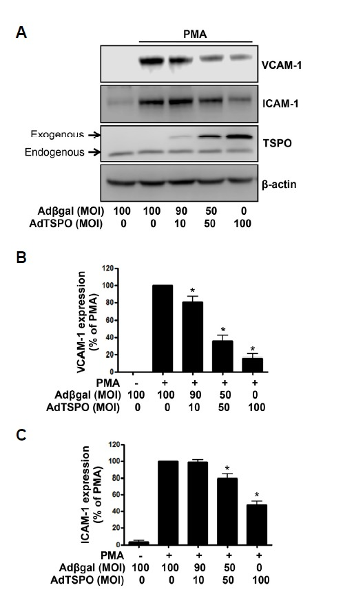 TSPO overexpression inhibited PMA-induced VCAM-1 and ICAM-1 expression in endothelial cells. (A) HUVECs transfected with AdTSPO were treated with 250 nM PMA for 6 h, followed by Western blot analysis of the cell lysates. The total adenoviral MOI of 100 was balanced in the Adβgal control. FLAG-tagged TSPO over-expression was confirmed by anti-TSPO antibody detection. The β–actin was used as a loading control. (B) Densitometric analysis of Western blots. Data are expressed as percent densitometric values of VCAM-1 expression induced by PMA. Each bar represents mean ± SEM (n = 4). * p