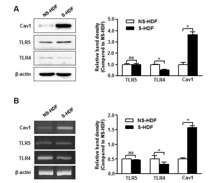 TLR5 is conserved in senescent non-immune cells. RNA and protein were isolated from NS-HDF and S-HDF cells. (A) Caveolin-1, TLR4, and TLR5 protein expression was detected by Western blot with specific antibodies. (B) Caveolin-1, TLR4, and TLR5 mRNA levels were analyzed by RTPCR with specific primers. The β-actin was used as the loading control for both RT-PCR and Western blotting. The relative density of protein expression and mRNA levels were normalized to β-actin and represented by quantitative graphs. Data are presented as mean ± SD from five independent experiments; * p
