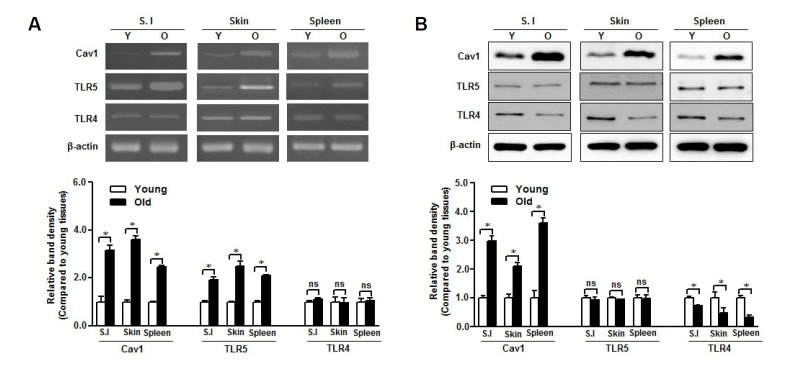TLR5 is preserved in aged mice tissues. RNA and protein were isolated from small intestine (S.I.), skin, and spleen of young (Y) and aged (O) mice. (A) Caveolin-1, TLR4, and TLR5 mRNA levels were quantified by RT-PCR with specific primers. (B) Caveolin-1, TLR4, and TLR5 protein expression was detected by Western blotting with specific antibodies. The β-actin was used as the loading control for both RTPCR and Western blotting. The relative density of protein expression and mRNA levels were normalized to β-actin and represented by quantitative graphs. Data are presented as mean ± SD from five independent experiments (n = 3 mice/group); * p