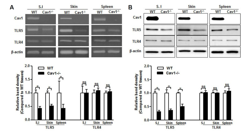 TLR5 expression decreases in caveolin-1 knockout mice. RNA and protein were isolated from small intestine (S.I.), skin, and spleen of wild type (WT) and caveolin-1 knockout (Cav1 −/− ) mice. (A) Caveolin-1, TLR4, and TLR5 mRNA levels were analyzed by RT-PCR with specific primers. (B) Caveolin-1, TLR4, and TLR5 protein expression was detected by Western blotting with specific antibodies. The β-actin was used as the loading control for both RT-PCR and Western blotting. Relative density of protein expression and mRNA levels were normalized to β-actin and represented by quantitative graphs. Data are presented as mean ± SD from five independent experiments (n = 3 mice/group); * p