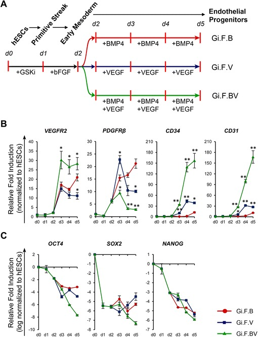 Kinetics of transcripts associated with early endothelial induction and pluripotency of human embryonic stem cells ( hESCs ). a Schematic representation of differentiation of H1-hESCs towards endothelial progenitors by sequential treatment with CHIR99021 ( +GSKi ) and basic fibroblast growth factor ( bFGF ) for 24 hours each followed by exposure to bone morphogenetic protein 4 ( BMP4 ) and/or vascular endothelial growth factor ( VEGF ). b Kinetics of expression of VEGFR2 , CD34 and CD31 upon induction with BMP4 ( Gi.F.B ), VEGF ( Gi.F.V ) and BMP4 + VEGF ( Gi.F.BV ) over a differentiation period of 5 days. c Time course expression kinetics of pluripotency genes ( OCT4 , SOX2 , NANOG ) over 5 days of differentiation among the three differentiation conditions. For gene expression plots in ( b ) expression levels were normalized to corresponding β-ACTIN values and are shown relative to undifferentiated hESCs, while for those in ( c ) the expression levels were log-normalized to reveal the amount of downregulation in relation to undifferentiated hESCs. Error bars show standard deviations; n ≥ 3. * p