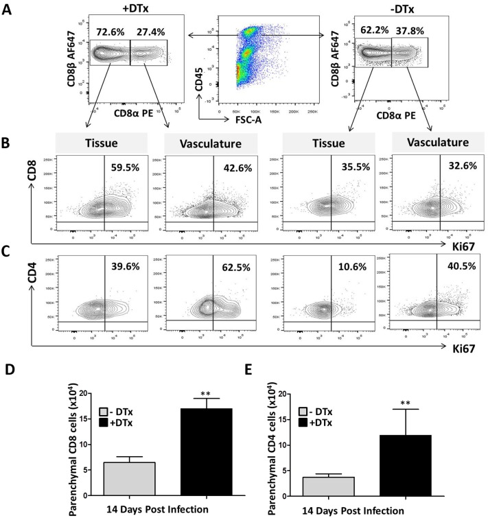 Discrimination between brain parenchyma-localized and vasculature-localized lymphocyte proliferation. Foxp3-DTR, MCMV-infected, DTx-treated and untreated mice at 14 dpi were injected intravenous with anti-CD8α-PE and <t>anti-CD4-FITC</t> mAb. Lymphocytes were isolated and stained ex-vivo for the anti-CD8 β-AF647 and anti-CD4-AF700 using different clones, as described in the methods. Plots are representative of two experiments using three animals per groups. (A) Contour plots show CD8 + T-cells in the vasculature that stained both for anti-CD8α-PE and anti-CD8β-AF647; while tissue lymphocytes were stained by anti-CD8β-AF647 alone in both DTx-treated and untreated groups. (B) Contour plots show proliferation of CD8 + T-cells both within the tissue and in the vasculature. C. Contour plots represent proliferation of CD4 + T-cells both in tissue and vasculature. (D) The number of parenchyma-localized CD8 + T-cells within MCMV-infected brains of animals with and without DTx treatment is shown. (E) The number of parenchymal CD4 + T-cells with and without DTx treatment is shown. **p