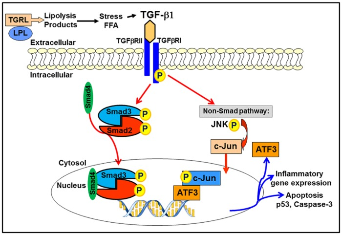 TGRL lipolysis products activate stress response signaling via TGF-β/SMAD Signaling Pathway. Lipolysis release TGF-β1 and activate phosphorylation of Smad2 and translocation of Smad4 to nucleus. TG-β1 also activate non-Smad signaling pathways ATF3-JNK transcription factor networks. Both Smad and ATF3 further induced pro-inflammatory cytokines and apoptosis which can be inhibited by TGF-β receptor inhibitor, ALK.
