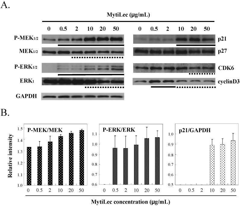 Effects of MytiLec treatment on MEK, ERK, and cell cycle-related molecules in Burkitt's lymphoma Ramos cells. ( A ) Phosphorylation and expression levels of MEK1/2, ERK1/2 and p21, p27, CDK6 and cyclinD3 were shown, respectively. Cells (4 × 10 5 in each experiment) were treated with various concentrations of MytiLec as shown, and activation levels were evaluated by Western blotting of lysates. Solid and dotted lines indicated increasing and decreasing trends, respectively. GAPDH: Glyceraldehyde 3-phosphate dehydrogenase; ( B ) Relative densitometric quantification of P-MEK/MEK, P-ERK/ERK and p21/GAPDH. Each experiment was repeated three times.