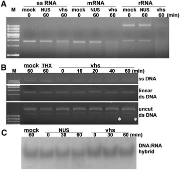 An in vitro assay of RNase activity mediated by PrV <t>vhs</t> using various substrates. ( A ) Different types of RNA, including single stranded RNA without cap (ssRNA), with cap and polyA tail (mRNA) and cellular total rRNA, were incubated with assay buffer (mock), recombinant vhs and the appropriate tag proteins, either NUS or Thioredoxin (THX) (negative control), for various times (as indicated above the gel). The degradation pattern was resolved by agarose electrophoresis. In addition to RNA, various <t>DNA</t> substrates ( B ) and a DNA-RNA hybrid ( C ) were also tested.