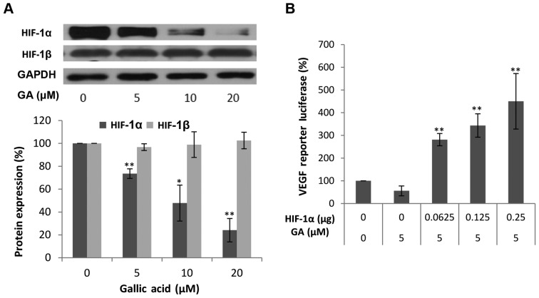 The effect of gallic acid (GA) on HIF-1α and HIF-1β protein expression in OVCAR-3 cells and luciferase assay after transfection with VEGF luciferase reporter and HIF-1α plasmids. (A) GA decreases HIF-1α protein expression. Data represents mean ± SE from 4 independent experiment. (B) HIF-1α mediates the inhibitory effect by GA on VEGF transcriptional activation. Data represents means ± SE from 6 independent experiments. ** P