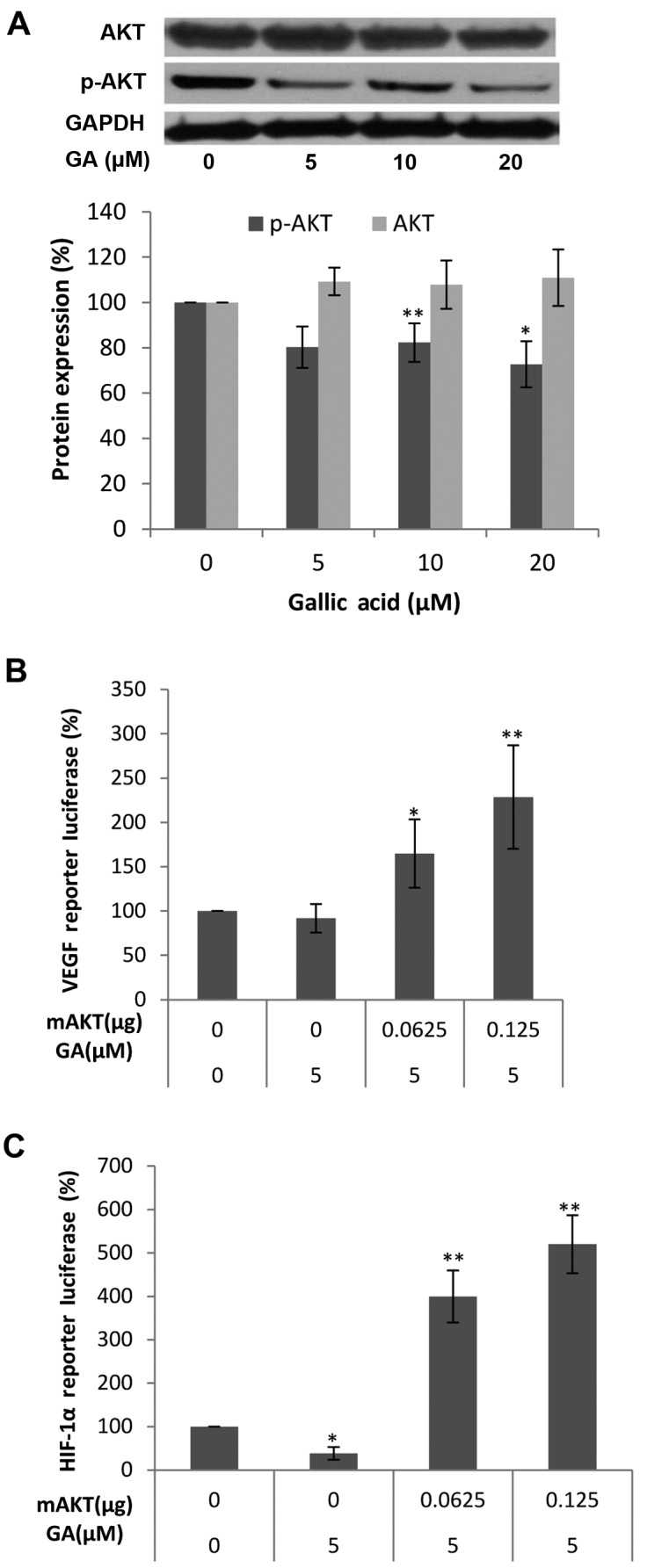 The effect of gallic acid (GA) on p-AKT and AKT protein expression in OVCAR-3 cells and luciferase assay after transfection with mAKT plasmids and VEGF luciferase reporter or HIF-1α luciferase reporter. (A) GA decreases p-AKT protein expression in OVCAR-3 cells. Data represents mean ± SE from 5 independent experiment. (B) mAKT mediates the inhibitory effects of GA on VEGF expression in ovarian cancer cells. Data represents mean ± SE from 8 independent experiment. (C) mAKT mediates the inhibitory effects of GA on HIF-1α expression in ovarian cancer cells. Data represents mean ± SE from 4 independent experiments. * P