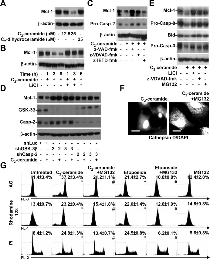 Ceramide induces GSK-3β-, caspase-2-, and proteasome-regulated Mcl-1 degradation followed by lysosomal-mitochondrial apoptosis. (A) We used Western blotting to determine the expression of Mcl-1 in 10I cells treated with different doses of C 2 -ceramide. C 2 -dihydroceramide was used as a negative control. (B) 10I cells were treated with 25 μM C 2 -ceramide in the presence or absence of 10 mM LiCl for the indicated time periods. We used Western blotting to determine the expression of Mcl-1. (C, D, and E) We used Western blotting to determine Mcl-1 expression and the activation of caspase-2, caspase-8, Bid, and caspase-3 in 25 μM C 2 -ceramide-treated 10I cells with or without z-VAD-fmk (10 μM), z-VDVAD-fmk (10 μM), z-IETD-fmk (10 μM), LiCl (10 mM), or the proteasome inhibitor MG132 (25 μM) for 6 h. 10I cells were transfected with shRNAs against GSK-3β (shGSK-3β) or caspase-2 (shCasp-2) or a negative-control shRNA (shLuc). The expression of Mcl-1 in ceramide-treated transfected cells was detected using Western blot analysis. β-actin served as an internal control. (F) A549 cells were treated with 25 μM C 2 -ceramide for 24 h in the presence or absence of 25 μM MG132. The translocation of cathepsin D was determined using a cathepsin D-specific antibody followed by an Alexa Fluor 488-labeled secondary antibody and DAPI nuclear staining. The scale bar is 10 μm. (G) 10I cells were treated with 25 μM C 2 -ceramide for 6 h in the presence or absence of 25 μM MG132. Using AO (top), rhodamine 123 (middle), and PI (bottom) staining, respectively, followed by flow cytometric analysis, the percentages of cells with LMP, MTP reduction, and apoptosis are shown (means ± S.D. of three individual experiments). A representative histogram is shown. *, P