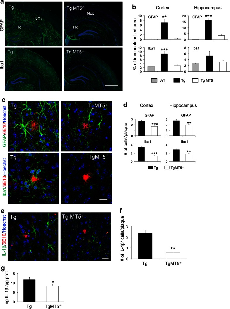 Decreased glial reactivity and IL-1β levels in the brains of TgMT5 −/− mice. a Representative epifluorescence microphotographs showing changes in astroglia (GFAP) and microglia (Iba1) reactivity in the hippocampus (Hc) and neocortex (NCx) of Tg and TgMT5 −/− mice, counterstained with nuclear marker Hoechst ( blue ). Scale bar 1 mm. b Quantification of changes in GFAP and Iba1 immunostaining measured as the percentage of the immunostained area/total area of the hippocampus or neocortex. Values are the mean ± SEM of seven brains per group; ** p