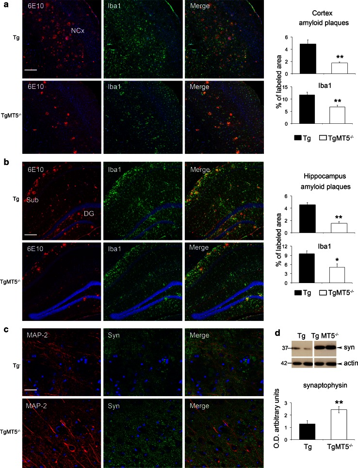 Long-lasting beneficial effects of MT5-MMP deficiency in the brains of TgMT5 −/− mice. Representative confocal microphotographs of seven mice per group and the corresponding quantifications showing strong reductions in plaque load (6E10, red ) and microglial reactivity (Iba1, green ) in the neocortex ( a ) and hippocampus ( b ) of 16-month-old TgMT5 −/− mice compared to age-matched Tg mice. The nuclear marker Hoechst is in blue . Scale bar 200 µm. NCx neocortex, Sub subiculum, DG dentate gyrus. c Representative confocal microphotographs showing a better-preserved neuronal network (MAP-2, red ) and increased synaptophysin immunostaining (Syn, green ) in layers IV–V of the neocortex. Scale bar 20 µm. d Western blot of cortical soluble fractions showing increased levels of synaptophysin in TgMT5 −/− mice compared to Tg. Values are the mean ± SEM of seven actin-normalized optical densities (O.D.); ** p