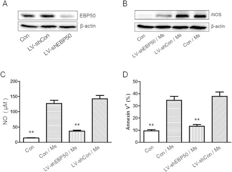 EBP50 knockdown decreases the levels of iNOS, NO and apoptosis ratios of RAW264.7 cells following mycobacteria infection. RAW264.7 cells were left untreated (Con) or transduced with LV-shEBP50 or LV-shCon for 72 h. The expression levels of EBP50 were determined by Western blotting (A) . RAW264.7 cells were left untreated (Con) or transduced with LV-shEBP50 or LV-shCon for 72 h, then infected with M. smegmatis mc2-155 (Ms) at the MOIs of 10 for 24 h. The amount of iNOS was detected by Western blotting. β-actin was used as a loading reference (B) . The production of NO was measured by Griess reagent (C) and the apoptosis incidence was measured by FCM (D) . Data are represented as mean ± SEM of at least three independent experiments. ** P
