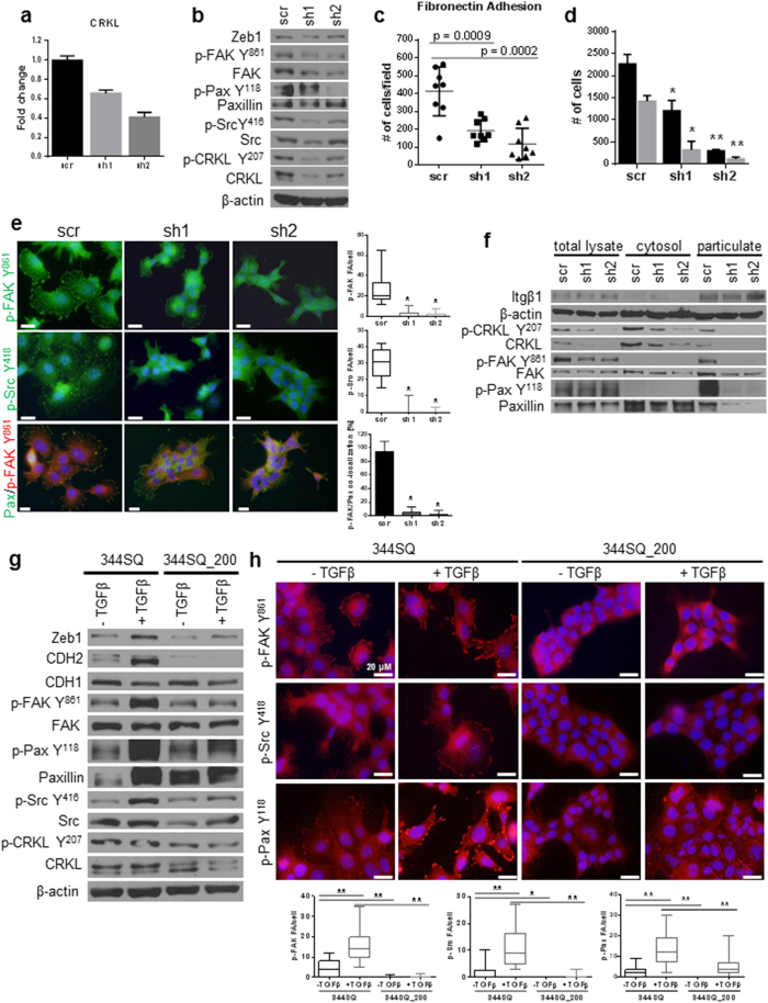 CRKL regulates FAK/Src complex formation at focal adhesions and the invasive/metastatic phenotype. ( a ) qRT-PCR and Western blot ( b ) analysis of 344SQ_shCRKL knockdown cells showed a decrease in FAK signaling. ( c ) CRKL knockdown decreased adhesion to fibronectin and 2D Transwell migration/invasion ( d ). ( e ) Immunofluorescent staining and biochemical fractionation ( f ) of CRKL knockdown cells for activated Src Y 418 , CRKL Y 207 , PaxY 118 , and p-FAK Y 861 in the focal adhesion complex at the membrane. An average of 20–30 cells was counted for the presence of focal adhesions and data are presented per cell. Scale bar is 200 μm. *p