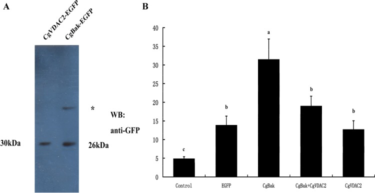 Effects of overexpression of CgVDAC2 on UV irradiation-induced apoptosis in HEK293T cells. (A) Recombinant expression of CgVDAC2 and CgBak in HEK293T cells. The deduced molecular weights of these two proteins are approximate 30 kDa and 26 kDa, respectively. The asterisk indicated a non-specific band. (B) Caspase3 activities of HEK293T cells that expressed distinct recombinant proteins. The Caspase3 activities were determined 24 h after UV irradiation and based on spectrophotometric detection of the chromophore p -nitroaniline ( p NA) after cleavage from the labeled substrate DEVD- p NA. The values are shown as the mean ± S.D (N = 3). Different small letters indicate differences ( P