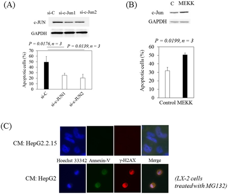 c-Jun is important for apoptotic hepatic stellate cell death induced by MG132. (A) Apoptotic cell deaths were lower in LX-2 cells transfected with siRNAs against c-Jun (si-c-Jun1 and si-c-Jun2) compared with LX-2 cells transfected with siRNA-control (si-C) after incubation with conditioned media from HepG2 in the presence of MG132 (lower panel). Western blot analysis of c-Jun and GAPDH expression in LX-2 cells treated with conditioned media from HepG2 after 24 hours of MG132 treatment (upper panel). (B) Overexpression of c-Jun by the transfection of pMEKK into LX-2 cells enhanced apoptosis in LX-2 cells treated with conditioned media from HepG2.2.15 in the presence of MG132 (lower panel). Western blot analyses of c-Jun and GAPDH expression in LX-2 cells treated with conditioned media from HepG2.2.15 after 24 hours of MG132 treatment (upper panel). Apoptosis was quantified using the APOPercentage Apoptosis Assay. Data are expressed as mean ± standard deviations of triplicate determinations. (C) Conditioned media from HepG2.2.15 (2.2.15-CM) protects hepatic stellate cells from MG132-induced apoptosis and DNA damage. Confocal microscopic findings with a high-power view (x200) of the expression of phosphorylated histone H2AX (γ-H2AX) (red), a DNA damage marker, and Annexin V (green), an apoptosis marker, in LX-2 cells treated with conditioned media from HepG2.2.15 (upper panel) or HepG2 (lower panel) in the presence of MG132.
