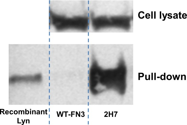 Pull-down of endogenous Lyn from human cells. Ramos cells were cultured and the clarified lysate was incubated with biotinylated 2H7 or wild-type FN3 (WT-FN3) monobody. Protein complex was then captured with streptavidin-coated magnetic beads and analyzed by Western blot. The Western blot included a recombinant Lyn protein as a positive control, along with the input and output samples of the pull-down experiment. The Lyn proteins were detected on the blot with a commercial anti-Lyn antibody.