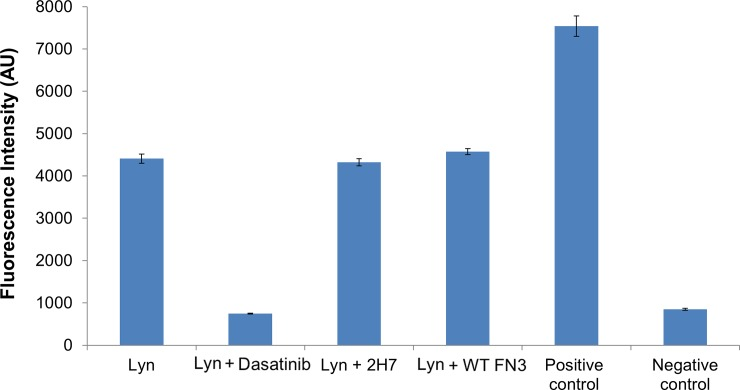 The 2H7 monobody did not perturb the kinase activity of Lyn. The kinase assay was performed with a Beacon Tyrosine kinase assay kit (Invitrogen), according to the manufacturer's instructions. The assay with wild-type FN3 (Lyn + WT-FN3) was a non-perturbed control and the assay with Dasatinib (Lyn + Dasatinib) was a kinase-inhibited control. The assay with the Lyn kinase protein without any inhibitor or monobodies present served as the non-treatment control. Two internal controls of the assay were also included: when an anti-phosphopeptide antibody was excluded in the assay, a maximum fluorescence signal was observed (i.e., positive control), and when the recombinant Lyn protein was excluded in the assay, the lowest fluorescence signal was observed (i.e., negative control). Error bars are the standard deviations of triplicate measurements.