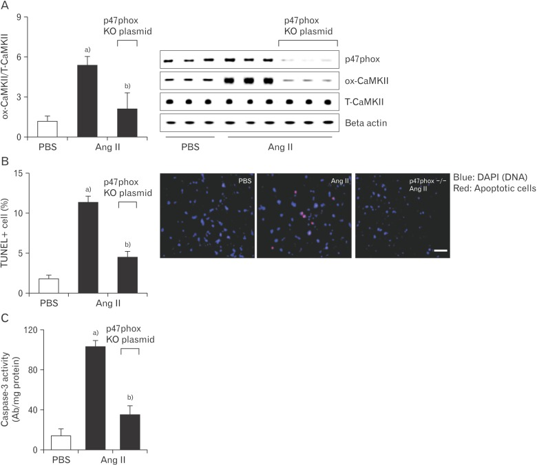 Knockout of p47phox prevents sinus nodal cell death and CaMKII oxidization observed with Ang II. Cas9 KO plasmid transfection of p47phox in sinus nodal cell was performed using a Lipofectamine 3000. Plated cells were exposed to the Cas9 KO plasmid or empty vector control. After this, Ang II (20 µM) was added to the culture medium for 5 days. From these cells, ox-CaMKII levels (A), apoptotic cells (B), and caspase-3 activity (C) were evaluated. Ang II, angiotensin II; CaMKII, calmodulin kinase II; ox-CaMKII, oxidized-CaMKII; PBS, phosphate buffered saline; T-CaMKII, total CaMKII; TUNEL, terminal deoxynucleotidyl transferase dUTP nick end labeling. Data are shown as the means±SEM of 3-6 mice per group.  a) Significantly different ( P